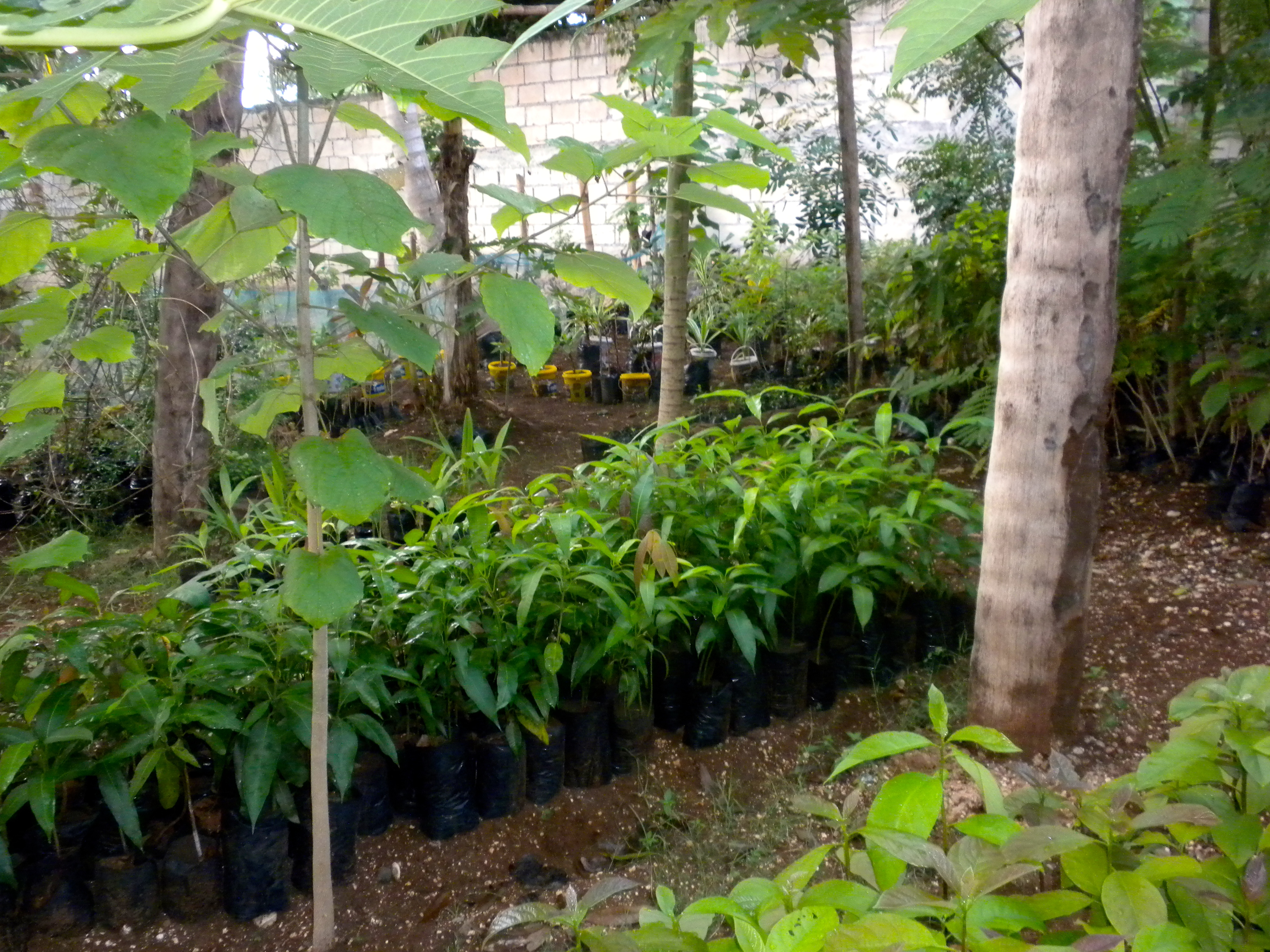 Des arbres pour Haïti